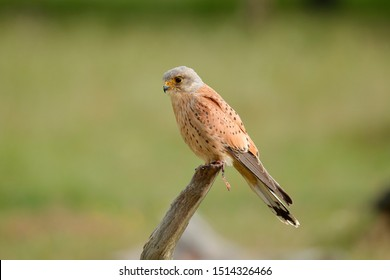 The common kestrel is a bird of prey species belonging to the kestrel group of the falcon family Falconidae.