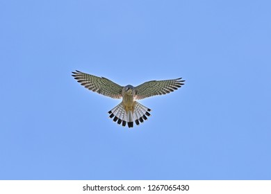 Common kestrel (Cyougenbo) is hovering to serach bait with  blue sky back