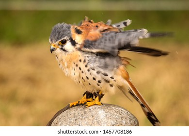 Common kestrel detailed close up of shaking up the feathers after a bath. Falconer training.