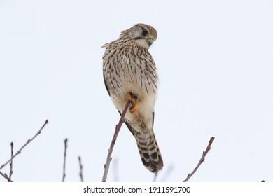 Common Kestrel  European kestrel (Falco tinnunculus) Germany