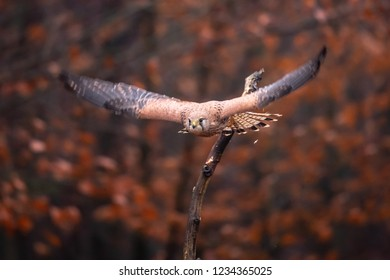 Common kestrel (Falco tinnunculus) is a bird of prey species belonging to the kestrel group of the falcon family Falconidae. Also known as the European kestrel, Eurasian kestrel.