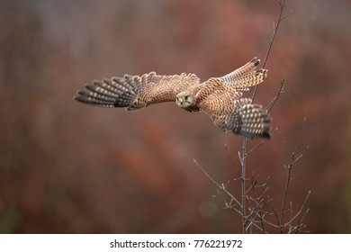 Common kestrel (Falco tinnunculus) is a bird of prey species belonging to the kestrel group of the falcon family Falconidae. Also known as the European kestrel, Eurasian kestrel.