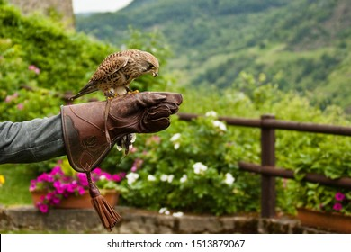 Common Kestrel (Falco tinnunculus), Falconry