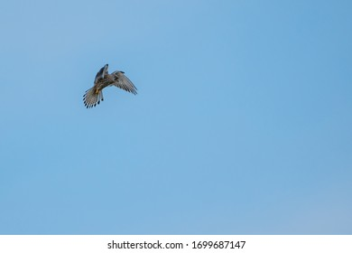 The Common Kestrel (Falco tinnunculus) feeding on a mouse, flying across field with prey in claws and looking for food.