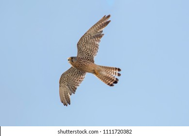 Common Kestrel (Falco tinnunculus). Common Kestrel in flight