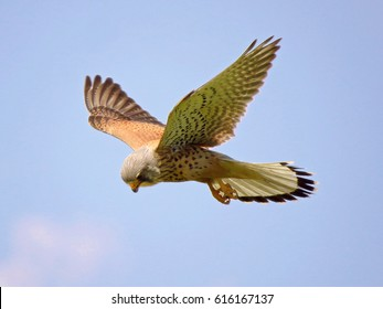 Common kestrel (Falco tinnunculus) in flight