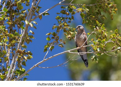 Common Kestrel (Falco tinnunculus): In late morning, while on return near Spituk village, found suddenly all small birds simply vanished. Up in the tree branch-found this Common Kestrel staring us.