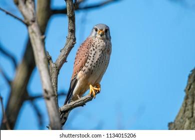 Common kestrel (Falco tinnunculus), male, perching on the branch on clear blue background. The wild bird of prey European kestrel or Eurasian kestrel sitting in full face against blue sky.