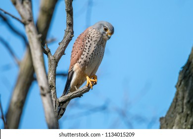Common kestrel (Falco tinnunculus), male, perching on the branch on clear blue background. The wild bird of prey European kestrel or Eurasian kestrel sitting against blue sky. Wildlife scene, Czech.