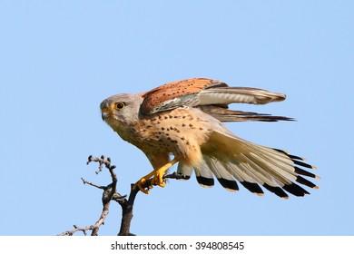 Common kestrel (Falco tinnunculus) in natural habitat