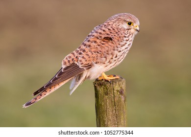 Common kestrel (Falco tinnunculus) in the polder of Eemnes (the Netherlands)