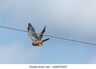 Common Kestrel (Falco tinnunculus). Russia, the Moscow region