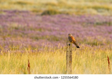 Common Kestrel (Falco tinnunculus) sitting on a fence post at the salt marshes on the East Frisian Island Juist in the North Sea, Germany.