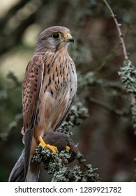 Common kestrel (Falco tinnunculus) sitting on the dry bough. Common kestrel in the forest. Common kestrel portrait.