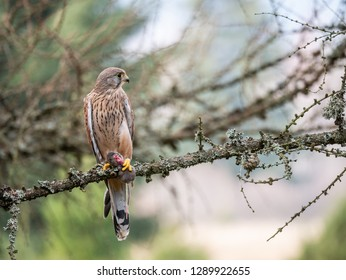 Common kestrel (Falco tinnunculus) sitting on a tree and holding a hunted mouse. Common kestrel in the forest. Common kestrel portrait. Common kestrel holds the mouse.