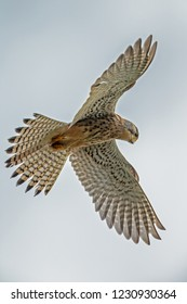 Common Kestrel ( falcon ) in search of mouse.