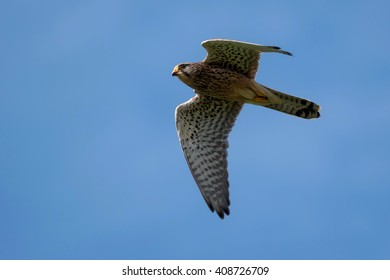 A common kestrel flies overhead.