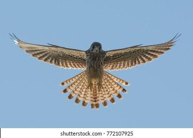 Common kestrel hover