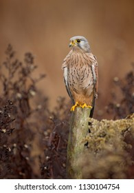 Common Kestrel. It is also known as the European kestrel, Eurasian kestrel, or Old World kestrel.