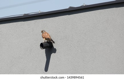 Common kestrel known also as European kestrel / Eurasian kestrel / Old World kestrel, in Latin language Falco tinnunculus, sits on pole at outdoor building wall