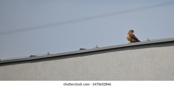 Common kestrel known also as European kestrel / Eurasian kestrel / Old World kestrel, in Latin language Falco tinnunculus, sits at top of building, electric cable in background