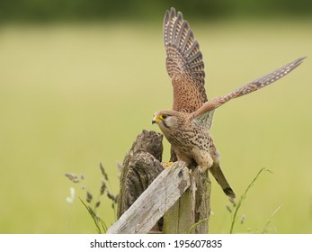 Common Kestrel perched on a gatepost with wings stretched