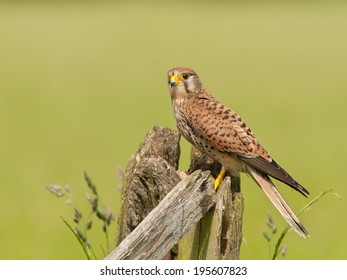 Common Kestrel perched on a post