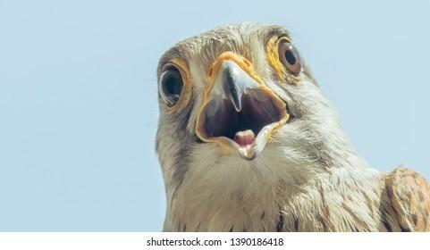 Common Kestrel Portrait Beak Wide Open (Falco tinnunculus) European kestrel.