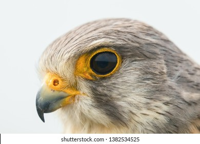 Common Kestrel Portrait Close Up (Falco tinnunculus) European kestrel.