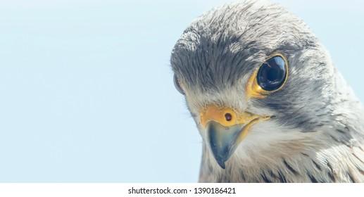 Common Kestrel Portrait Close Up (Falco tinnunculus) European kestrel.