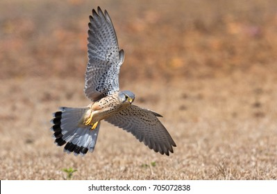 Common Kestrel.Rare bird in National park of Thailand.