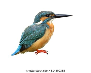 Common Kingfisher (Alcedo atthis)  Beautiful green and turquoise blue bird with full details from head to toes isolated on white background, exotic nature