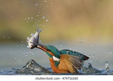 Common kingfisher (Alcedo atthis) with big fish