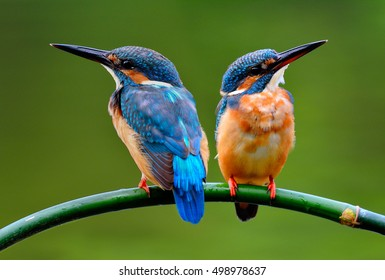 Common kingfisher (Alcedo atthis) or Eurasian kingfisher, river kingfisher the beautiful blue bird perching on bamboo wood over blur green background, fascinated nature