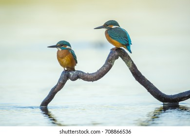 Common kingfisher (Alcedo atthis), the Eurasian kingfisher, and river kingfisher, is a small kingfisher with seven subspecies recognized within its wide distribution across Eurasia and North Afric