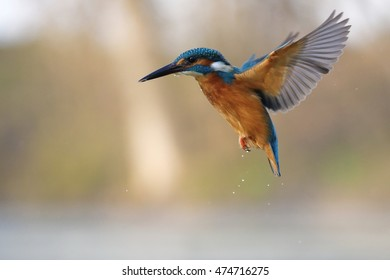 Common kingfisher (Alcedo atthis) in flight