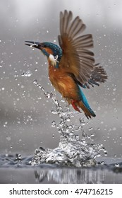 Common kingfisher (Alcedo atthis) flying with fish