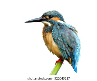 Common Kingfisher (Alcedo atthis) green and turquoise blue bird with puffy feathers calmly perching on the bamboo stick isolated on white background, exotic nature