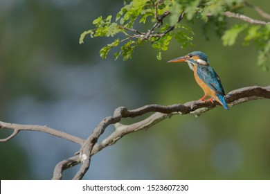 The common kingfisher (Alcedo atthis) also known as the Eurasian kingfisher, and river kingfisher, is a small kingfisher with seven subspecies recognized within its wide distribution across Eurasia.