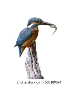 The common kingfisher (Alcedo atthis) Migratory birds have been found in the capital. Clamp winter migratory birds stayed about 3 months, Vachirabenjatas Park, Bangkok, Thailand.