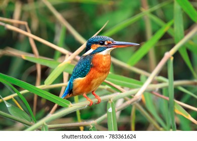 Common Kingfisher (Alcedo atthis) perching on a bamboo branch.