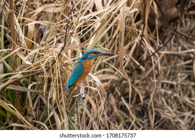 Common kingfisher (Alcedo atthis). Russia