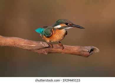 Common Kingfisher, Alcedo atthis, sitting on a branch.