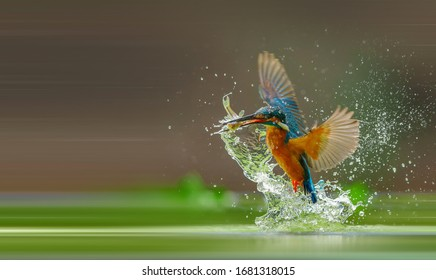 Common Kingfisher catches fish out of water
