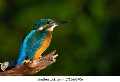 Common kingfisher, European kingfisher, Alcedo atthis. In the early morning, the bird sits on a beautiful old branch. The sun beautifully illuminates the model