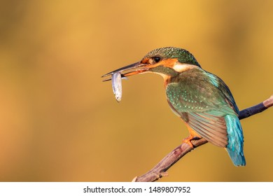 Common Kingfisher female [Alcedo atthis] Eurasian kingfisher and river kingfisher. Bird sitting on a branch with fish. Birds of Europe. Spain