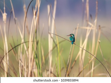 The common kingfisher also known as the Eurasian kingfisher, and river kingfisher, is a small kingfisher with seven subspecies recognized within its wide distribution across Eurasia and North Africa.