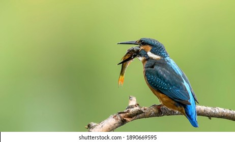 The common kingfisher perched on branch