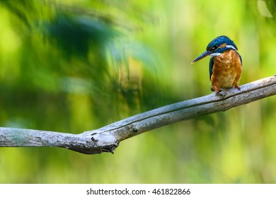 A common kingfisher sits on a branch waiting for a fish to pass by.