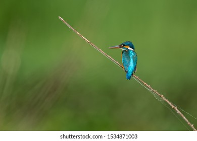 Common Kingfisher waiting for a meal near pond